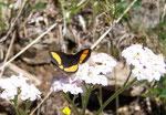 Psodos quadrifaria (Gelbgebänderter Flachstirnspanner) / CH BE Hasliberg 2000 m, 03. 07. 2005