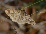 Erannis defoliaria (Grosser Frostspanner, Flügelunterseite, Männchen) / CH BE Hasliberg Brünig 1050 m, 08. 11. 2013