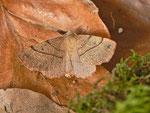 Colotois pennaria (Federspanner, Zucht-Weibchen aus obiger Raupe) / CH BE Hasliberg 1050m, 02. 10. 2013