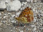 Brenthis ino (Violetter Silberfalter) / CH UR Wassen, Meiental, Gitzichrummenflue 1613 m, 24. 07. 2018