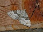 Xanthorhoe montanata (Schwarzbraunbinden-Blattspanner) / CH BE Hasliberg 1050 m, 22. 06. 2013