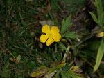 Ranunculus (Hahnenfuss) / Ranunculaceae
