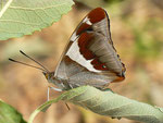 Apatura iris (Grosser Schillerfalter) / CH BE Hasliberg 1060 m, 02. 07. 2018
