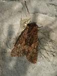 Mniotype adusta (Rotbraune Waldrandeule) / CH BE Hasliberg 1050 m, 21. 06. 2015