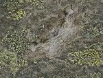 Alcis repandata (Braunmarmorierter Baumspanner) / CH VS Lac de Moiry 1973 m, 23. 08. 2013
