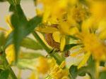 Eupithecia subfuscata (Hochstaudenflur-Blütenspanner) / CH BE Hasliberg 1050 m, 12. 09. 2014