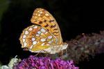Argynnis adippe (Märzveilchenfalter, Weibchen) CH BE Hasliberg 1050 m, 01. 09. 2006