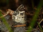 Epirrhoe tristata (Fleckleib-Labkrautspanner) / CH FR Val de Charmey, Breccaschlund, Underi Rippa 1366 m, 24. 05. 2018