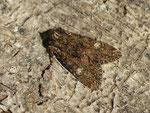 Mniotype adusta (Rotbraune Waldrandeule) / CH BE Hasliberg 1050 m, 22. 04. 2017 (conf. U. Beutler und H.-P. Wymann)