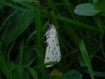 Spilosoma lubricipeda (Weisse Tigermotte, Männchen) / CH BE Hasliberg 1260 m, 27. 05. 2015