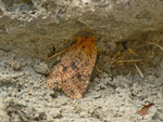Conistra rubiginea (Rost-Wintereule) / CH BE Hasliberg 1050 m, 04. 05. 2014