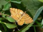 Itame brunneata (Waldmoorspanner, Weibchen) / CH BE Hohgant 1790 m, 30. 07. 2012