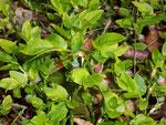 Vacinium myrtillus (Heidelbeere) / Ericaceae