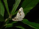 Xanthorhoe montanata (Schwarzbraunbinden-Blattspanner) / CH FR Alp Bounavaux, 18. 07. 2012