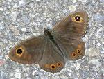 Lasiommata maera (Braunauge, Männchen) / CH BE Hasliberg 1175 m, 05. 06. 2011