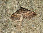 Anticlea badiata (Violettbrauner Rosen-Blattspanner) / CH BE Hasliberg 1050 m, 16. 04. 2013