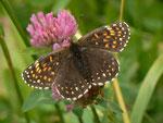 Melitaea diamina (Silber- oder Baldrian-Scheckenfalter, Weibchen) / CH BE Hasliberg 1280 m, 30. 06. 2014