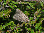 Lycophotia porphyrea (Kleine Heidekrauteule) / CH UR Meiental Planggen 1688 m, 22. 07. 2013
