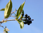 Ligustrum vulgare (Gewöhnlicher Liguster) / Oleaceae