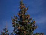 Piceae abies (Fichte) / Pinaceae