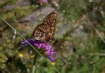 Euphydryas intermedia (Amur-Scheckenfalter) / CH VS Val d'Anniviers Grimentz, 17. 07. 2005