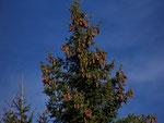 Picea abies (Gemeine Fichte, Rottanne) / Pinaceae