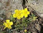 Potentilla neumanniana (Frühlings-Fingerkraut) / Rosaceae
