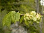 Ulmus glabra (Berg-Ulme) / Ulmaceae