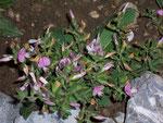 Ononis spinosa (Dornige Hauhechel