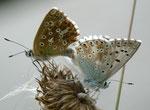 Polyommatus coridon (Silbergrüner Bläuling, Paarung) / CH BE Hasliberg 1100 m, 14. 06. 2011