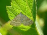 Perizoma albulata (Klappertopf-Kapselspanner) / CH VD Lac de l'Hongrin  1343 m, 10. 06. 2016