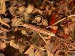 Aplocera praeformata (Johanniskrautspanner, Raupe beim Überwintern) / CH BE Hasliberg 1050 m, 03. 04. 2015