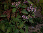 Origanum vulgare (Wilder Majoran) / Lamiaceae
