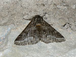 Lycia hirtaria (Schwarzfühler-Dickleibspanner) / CH TI Bré 800 m