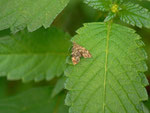 Anthophila fabriciana (Rundstirnmotte) / CH BE Hasliberg 1240 m, 27. 07. 2014