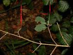 Limenitis camilla (Kleiner Eisvogel) Raupenfrassblatt und Hibernarium