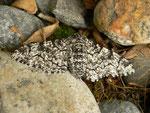 Biston betularia (Birkenspanner, Weibchen) / CH BE Hasliberg 1240 m, 11. 06. 2016