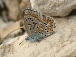 Polyommatus hispana (dasselbe Weibchen) / E Region Valencia, Alcoy-Benasau 950 m, 04. 05. 2012