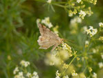 Macaria liturata (Violettgrauer Eckflügelspanner) / CH BE Hasliberg 1260 m, 16. 06. 2018