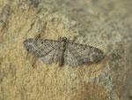Eupithecia subfuscata (Hochstaudenflur-Blütenspanner) / CH BE Hasliberg 1050 m, 30. 05. 2018 Zucht an Clinopodium vulgare
