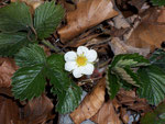 Fragraria vesca (Wald-Erdbeere) / Rosaceae