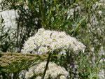 Yponomeuta evonymella (Traubenkirschen-Gespinstmotte) / CH UR Hospental Zumdorf Neuengaden 1500 m, 04. 08. 2019 (Flussaue)