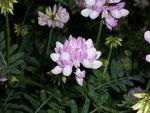 Coronilla varia (Bunte Kronwicke) / Fabaceae