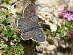 Maculinea arion (Schwarzgefleckter Bläuling, Weibchen) / CH BE Engstlenalp Spycherflue 1860 m, 26. 07. 2013