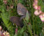 Erebia alberganus (Gelbäugiger oder Mandeläugiger Mohrenfalter, Paarung) / CH VS Lötschental, 16. 07. 2007