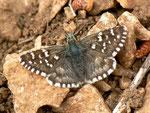 Pyrgus onopordi (ein anderes Weibchen) / Spanien, Region Valencia, Alcoy - Benasau 1150 m, 04. 05. 2012