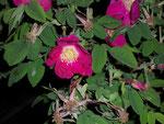 Rosa pendulina (Gebirgsrose) / Rosaceae