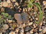 Zizeeria knysna (Männchen) / Spanien, Kan. Inseln, La Gomera, San Sebastian, La Cabezada 180 m, 11. 01. 2014