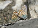 Polyommatus bellargus (Himmelblauer Bläuling, Paarung) / CH BE Hasliberg 1050 m, 23. 05. 2014
