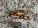Actinotia polyodon (Vielzahn-Johanniskrauteule) / CH BE Hasliberg 1050 m, 12. 04. 2014